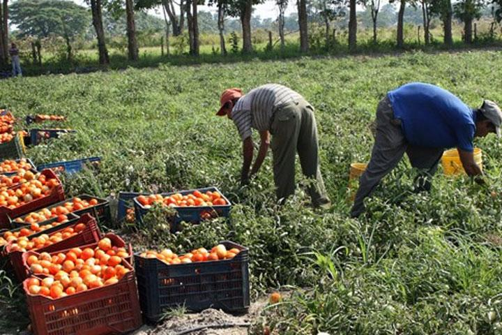 Próximo la cosecha de tomate industrial en San Lorenzo.
