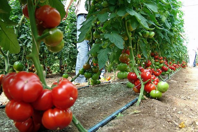 *** Local Caption *** Tomato Conference